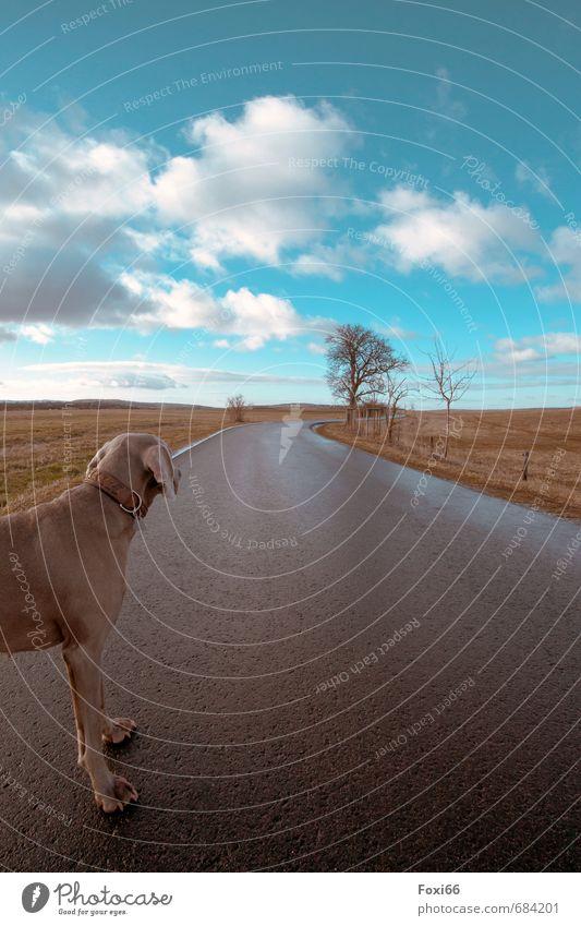 Instinkt Landschaft Himmel Wolken Frühling Baum Feld Verkehrswege Straße Wege & Pfade Haustier Hund 1 Tier beobachten Bewegung laufen blau braun gelb weiß ruhig