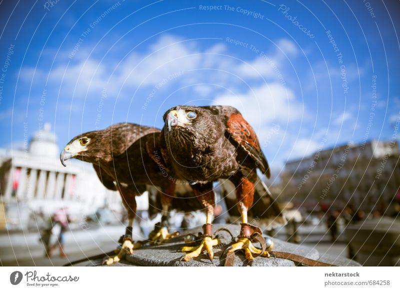 Majestätische Adler in London Himmel Natur Stadt Tier Architektur Stein Vogel Fassade Kraft Wildtier Tierpaar authentisch ästhetisch Schutz Symbole & Metaphern Wachsamkeit