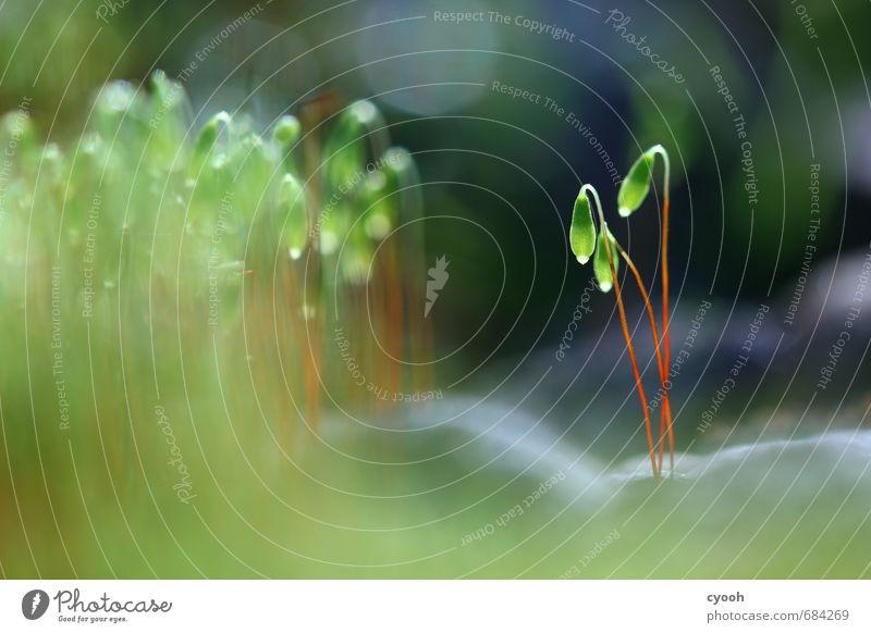 kleine Laternen Natur Pflanze Frühling Moos Blüte Wildpflanze berühren Blühend entdecken glänzend leuchten stehen ästhetisch dunkel saftig blau grün einzigartig