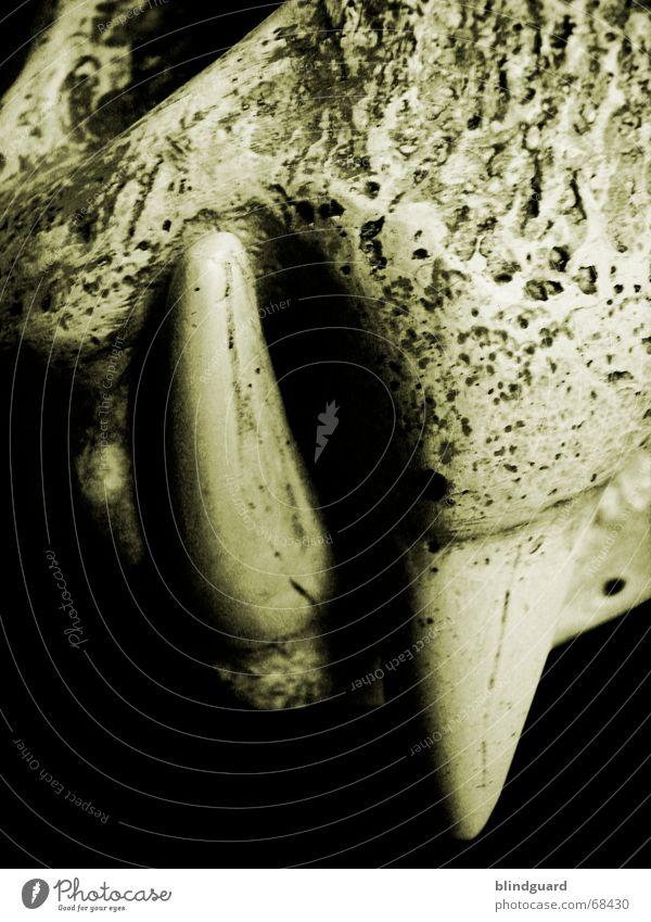 Beiss Mich Tiger Skelett ausgestorben Tod Reißzahn Fangzahn Gebiss Detailaufnahme Bildausschnitt Anschnitt Vor dunklem Hintergrund Tierschädel Totes Tier