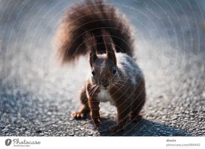 Wegelagerer Umwelt Natur Wege & Pfade Tier Wildtier Tiergesicht Fell Krallen Pfote Eichhörnchen Schwanz 1 hocken Blick kuschlig klein natürlich Neugier niedlich