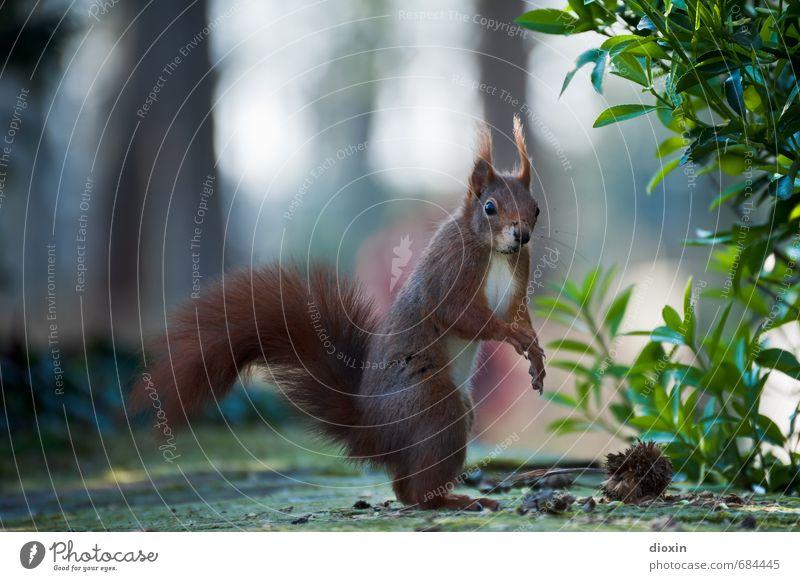 Stehauf-Hörnchen Natur Pflanze Blatt Tier klein natürlich Garten Park Sträucher Wildtier stehen niedlich Neugier Fell Tiergesicht kuschlig