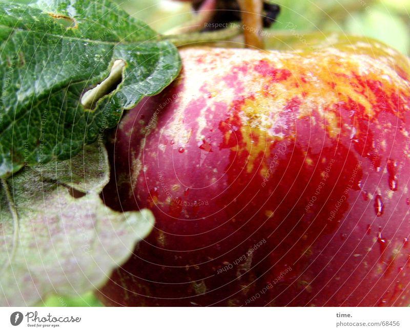 After The Rain Frucht Apfel Gesundheit Garten Pflanze Wasser lecker Müdigkeit rot-grün prall red and green garden water delicious fresh healthy damaged fruit