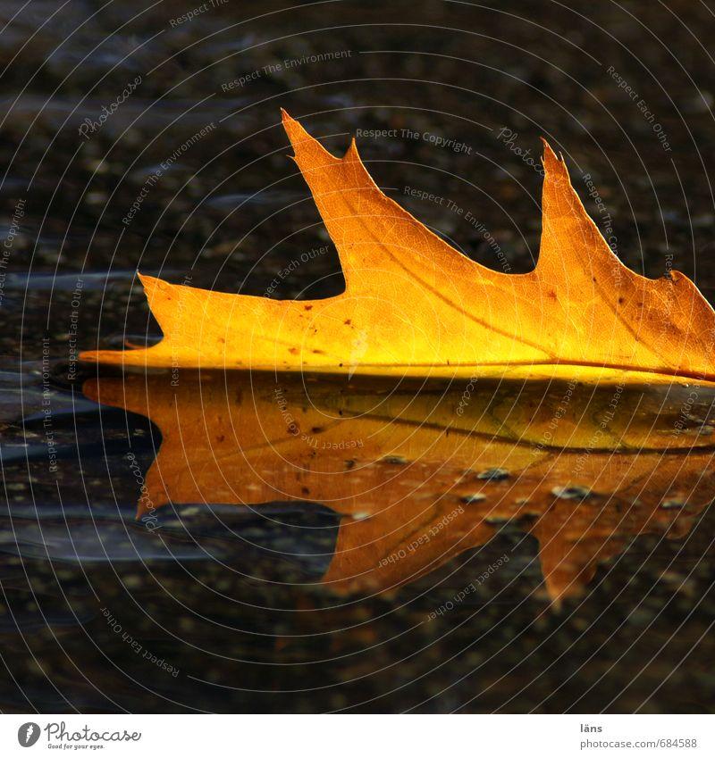 Herbst Umwelt Natur Wasser Blatt Eichenblatt leuchten braun gelb gold schwarz Leichtigkeit Vergänglichkeit Wandel & Veränderung Asphalt Farbfoto Außenaufnahme