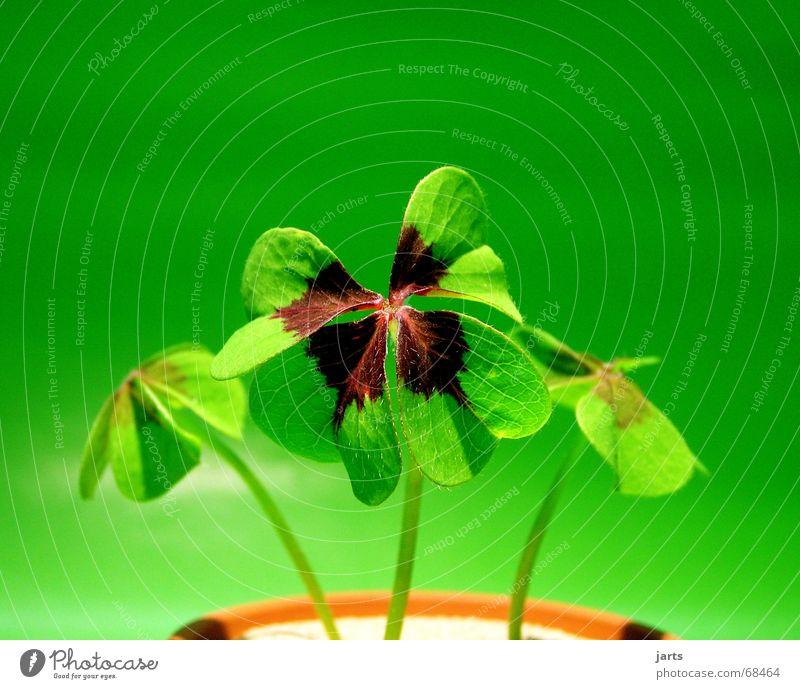 Grünes Glück Natur schön grün Pflanze Leben Wiese Zufriedenheit Erfolg Klee Mangel selten Glücksklee