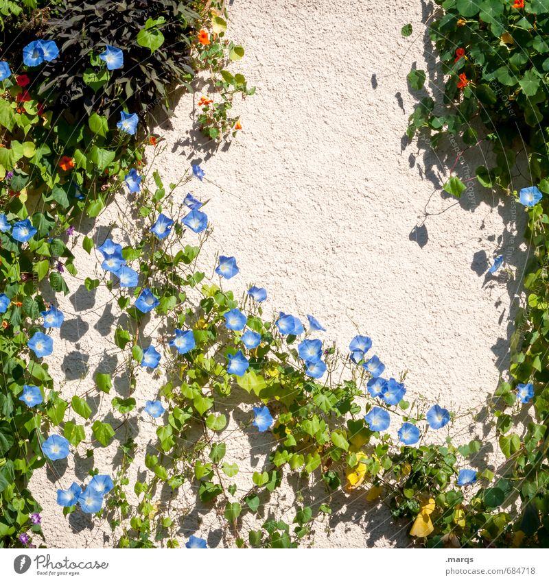 Ranken Häusliches Leben Natur Sommer Schönes Wetter Blume Sträucher Mauer Wand Blühend Wachstum schön Farbfoto Außenaufnahme Strukturen & Formen Menschenleer