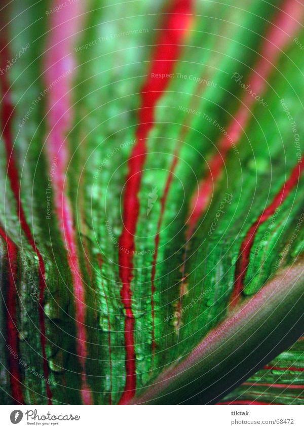 Canna Indica Natur grün schön rot Pflanze Blume Blatt Garten Linie Beleuchtung Regen Wachstum Wassertropfen Streifen Stengel Urwald