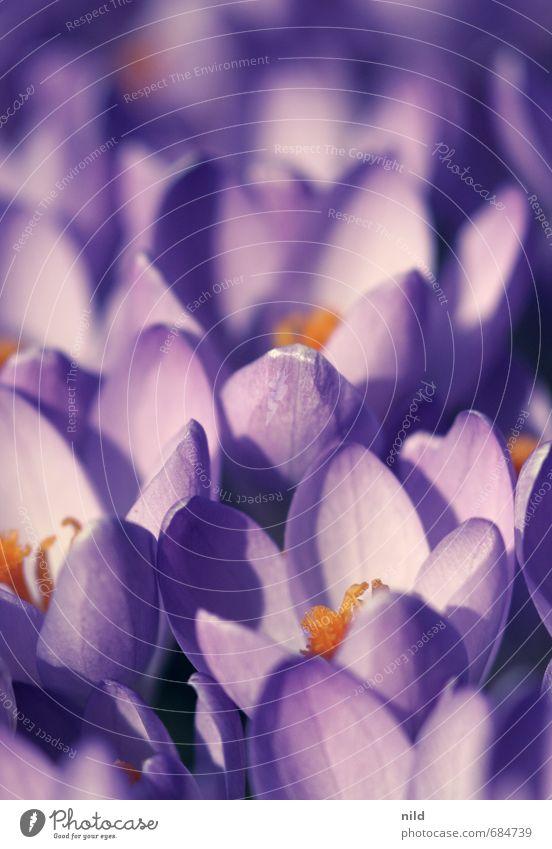 Frühlingslicht Umwelt Natur Pflanze Wetter Schönes Wetter Blume Blüte Krokusse violett orange Vergänglichkeit Wachstum Farbfoto Außenaufnahme Nahaufnahme