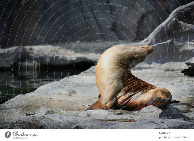 Sonnenbad I Erholung träumen Felsen schlafen Robben Bauch genießen Biegung gekrümmt Seehund Seelöwe