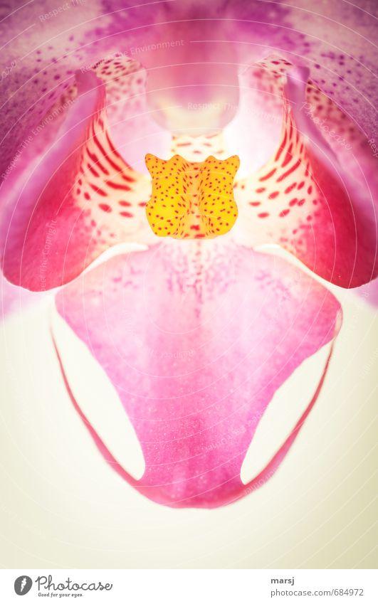 Einblicke Leben Natur Pflanze Frühling Sommer Herbst Winter Orchidee Blüte Topfpflanze exotisch Phalaenopsis Blühend leuchten Wachstum ästhetisch