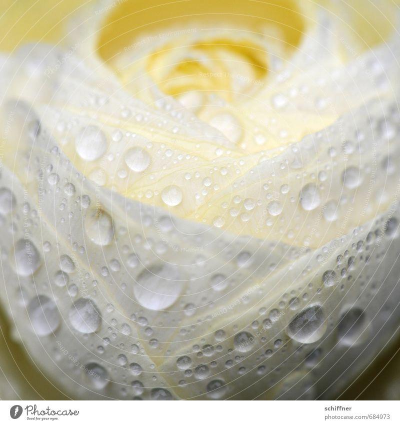 Hochzeit im Regen Pflanze Wasser Wassertropfen Frühling schlechtes Wetter Blume Blüte nass Romantik Mitgefühl Traurigkeit Trauer Liebeskummer Ranunkel