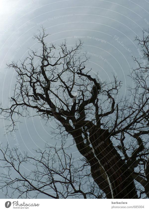 Der alte Baum Umwelt Natur Pflanze Himmel Winter Klima Schnee Linie stehen dunkel wild schwarz Stimmung ästhetisch bizarr einzigartig geheimnisvoll