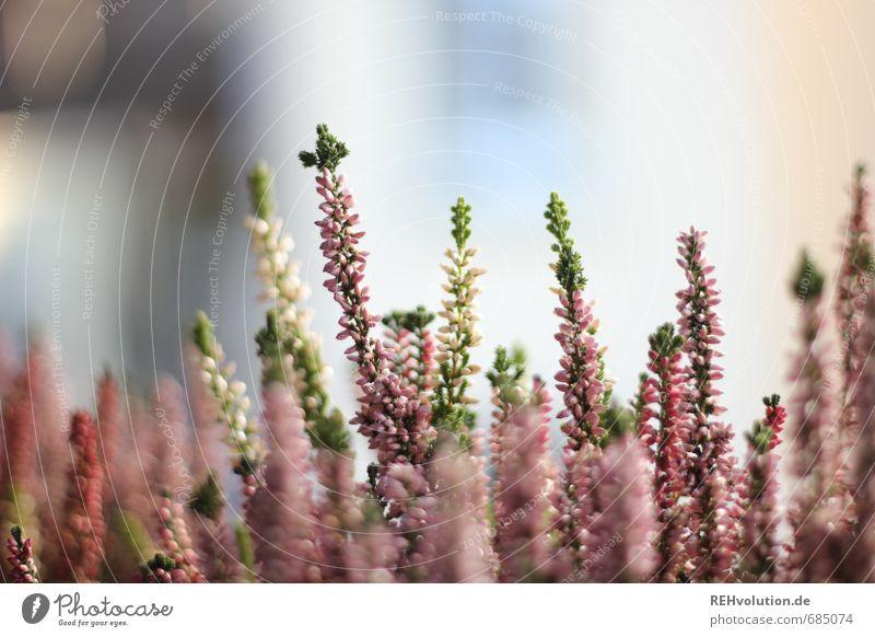 Heidewitzka Umwelt Natur Pflanze natürlich schön rosa Wachstum Blühend Blüte Blume Garten Heidekrautgewächse Farbfoto Außenaufnahme Nahaufnahme Detailaufnahme