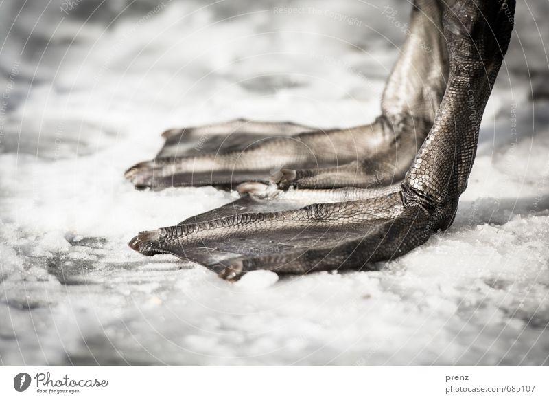 Kalte Füße Natur weiß Tier Winter kalt Umwelt Schnee grau Wildtier Tierfuß Schwan Schwimmhaut