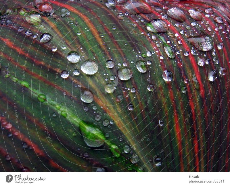 Perlen auf Canna Indica Natur Pflanze grün rot Blatt Linie Regen glänzend Wachstum frisch Wassertropfen nass Streifen Stengel Botanik feucht