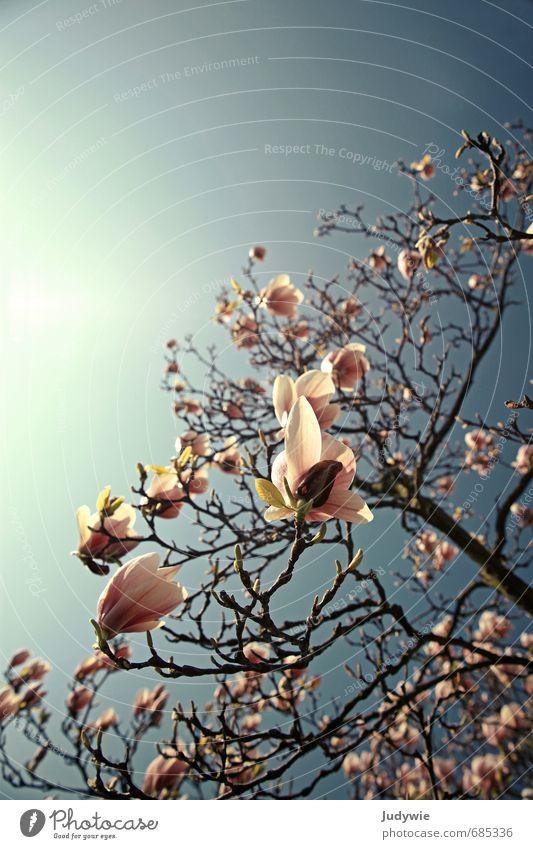 Magnolia Himmel Natur blau schön Pflanze Sonne Baum Blume Umwelt Leben Frühling natürlich Garten rosa Park Wachstum