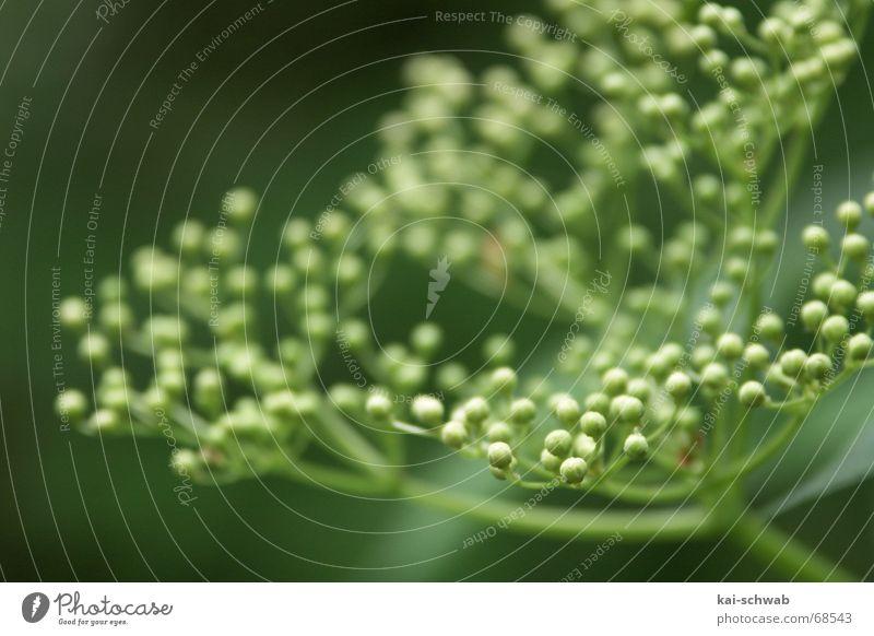Es grünt so grün... Stengel Unschärfe Tiefenschärfe Ast knubbel Blütenknospen offene blende