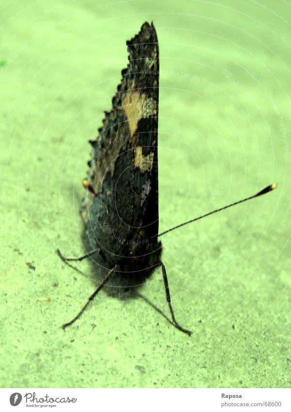 Papillion - er fliegt davon Tier Schmetterling Tagpfauenauge Fühler Insekt Beine Pause edeflfalter sitzen warten neue energie tanken Blick beobachten