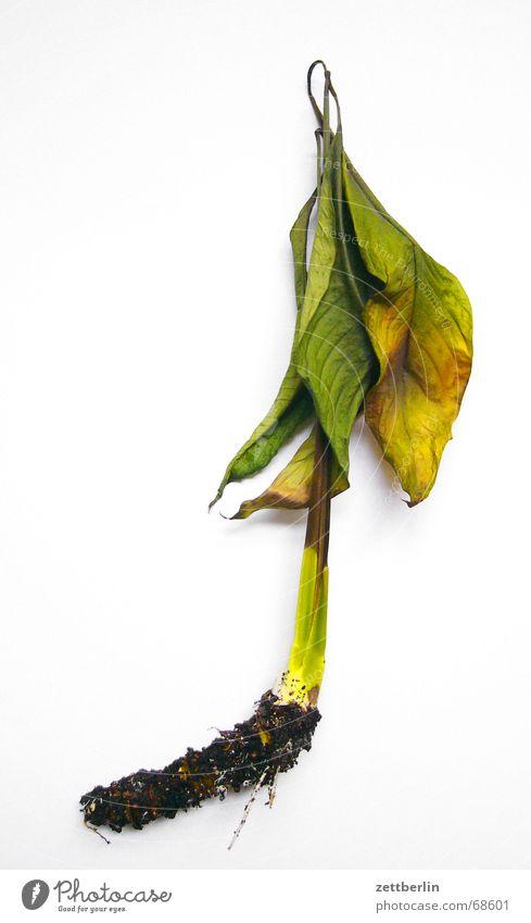 Keine Hoffnung Pflanze Blatt Stengel Wurzel Grünpflanze welk vergilbt Feldhockey Hockeyschläger ausgerissen