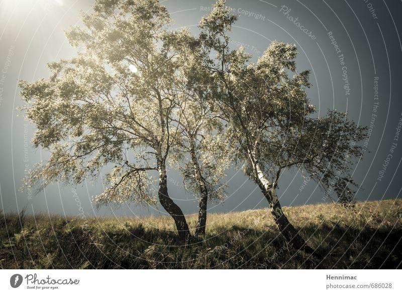 Birken zwischen Licht. Sommer Natur Landschaft Tier Himmel Baum Gras Hügel blau grün Stimmung Romantik Bäume Nebel Erscheinung schief Lichtquelle Geist Gruppe