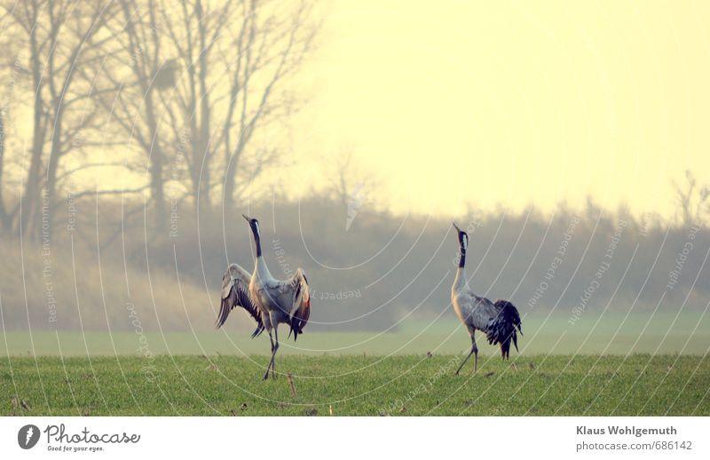 Frühlingsgefühle Umwelt Natur Landschaft Feld Tier Wildtier Vogel Flügel Kranich 2 Tierpaar Brunft Sex Tanzen blau grau grün rot schwarz Farbfoto Außenaufnahme