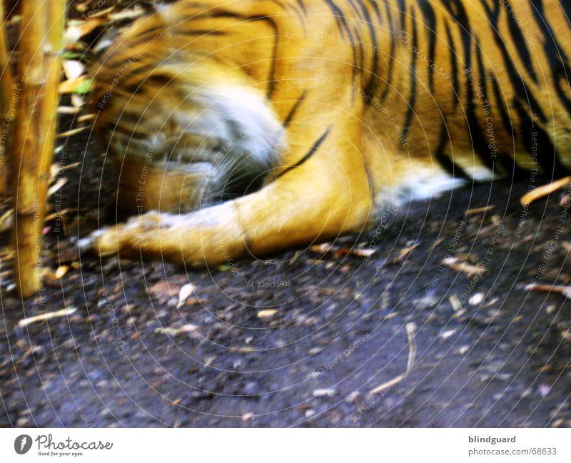 Vorbei Tiger Zoo gefangen Fressen Streifen schwarz weiß füttern Futter Linienbus Landraubtier Raubkatze Wildkatze Asien Urwald Appetit & Hunger orange Bewegung