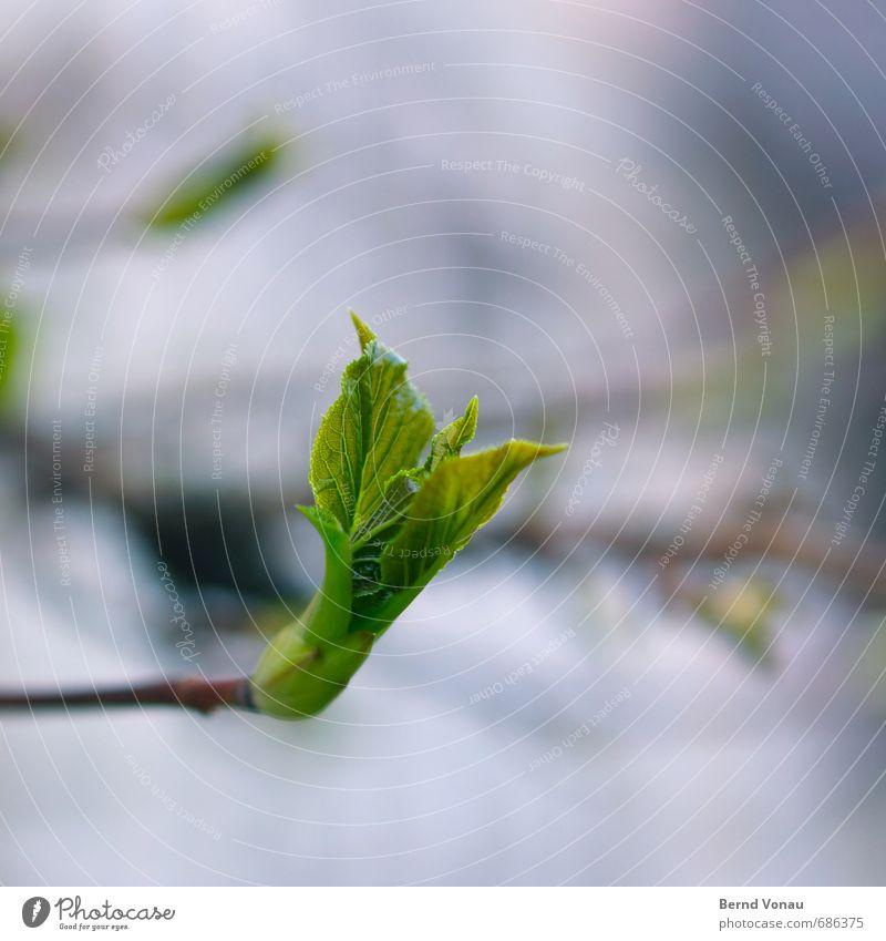 Aufbruchstimmung Natur blau grün Pflanze Blatt schwarz Frühling Wachstum Beginn neu Zweig aufwärts positiv Blattknospe Blattadern