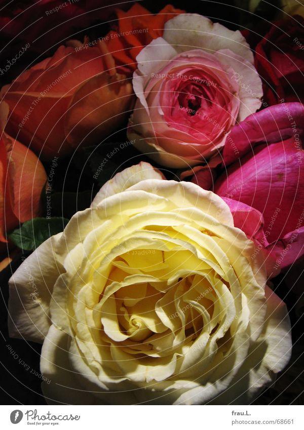 bunte Blumen Blume mehrfarbig Freude Farbe Blüte Häusliches Leben Rose Romantik Blühend Blumenstrauß Nachbar perfekt knallig Gefühle duftig