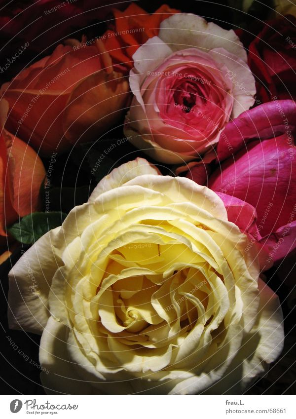 bunte Blumen mehrfarbig Freude Farbe Blüte Häusliches Leben Rose Romantik Blühend Blumenstrauß Nachbar perfekt knallig Gefühle duftig