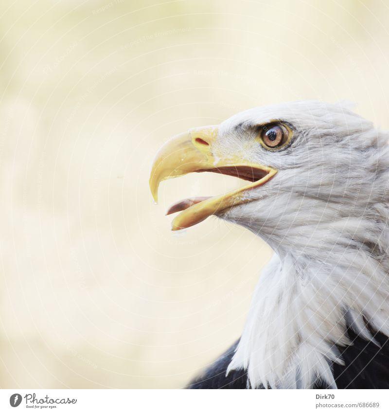 Stolz und schön Natur weiß Tier schwarz gelb grau Vogel Kraft Wildtier bedrohlich beobachten Macht einzigartig stark Konzentration Tiergesicht