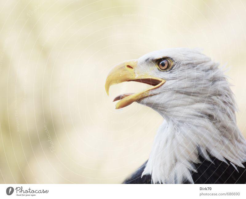 Zunge zeigen! weiß Tier schwarz gelb braun Vogel Kraft wild Wildtier bedrohlich beobachten Macht Zeichen Konzentration Wachsamkeit Mut