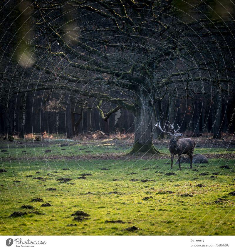 Witterung aufgenommen... Natur Pflanze Tier Frühling Baum Gras Wiese Wald Wildtier Hirsche Hirschkuh 2 Horn braun grün selbstbewußt Kraft Sicherheit Schutz