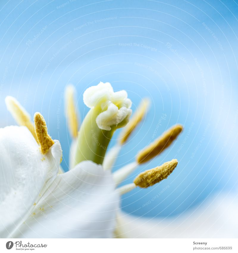 Tulpen Stempel Natur Blume ästhetisch Duft elegant blau gelb grün weiß Romantik schön eitel zart Pollen Blütenblatt Farbfoto Makroaufnahme Menschenleer