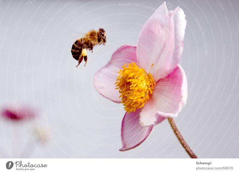 Attacke! Blume Sommer Frühling Insekt Biene Honig fleißig Staubfäden Lebensmittel Nektar