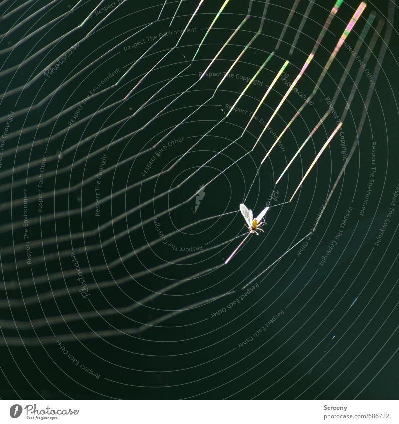 Catch me, if you.... damn!!! Natur Tier Insekt 1 Netz hängen bedrohlich glänzend Ende Tod Überleben Verzweiflung Spinnennetz Klebrig gefangen Farbfoto
