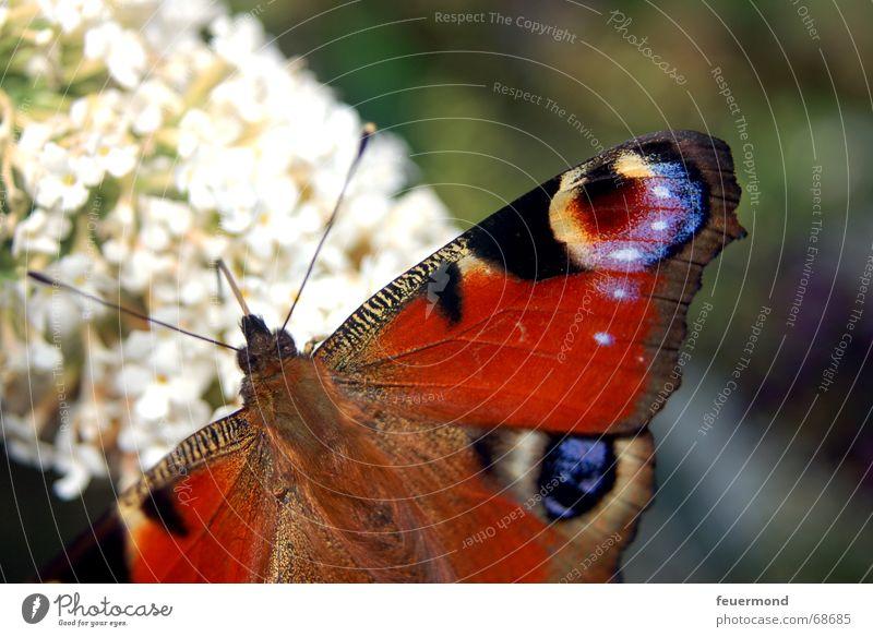Der Pfau mit dem Auge. Sonne Blume Sommer Tier Blüte Garten klein Flügel Schmetterling Fühler zierlich Tagpfauenauge Edelfalter