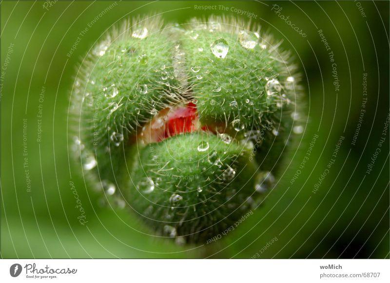 mampf Mohn grün nass lustig Blume Außenaufnahme Wassertropfen Ernährung Regen Natur tropfnass Blütenknospen Makroaufnahme