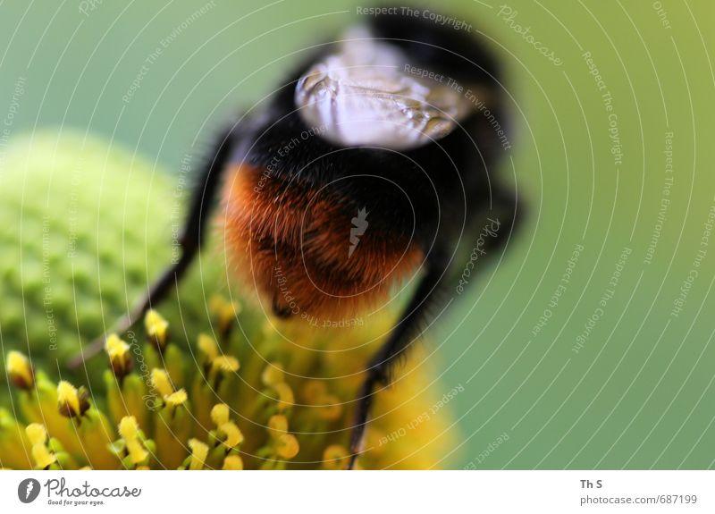 Biene Natur Frühling Sommer Pflanze Blüte Wildtier 1 Tier Blühend Duft ästhetisch authentisch elegant natürlich schön wild gelb grün rot schwarz Zufriedenheit