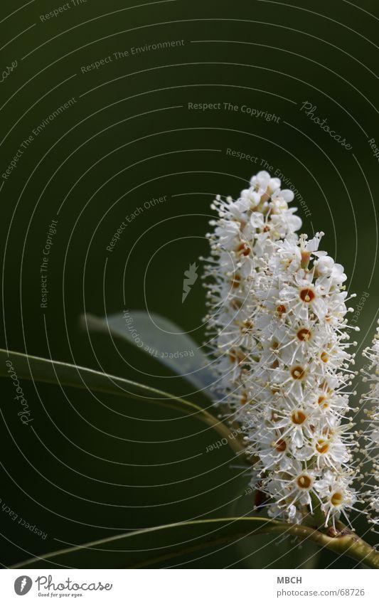 Zwilling weiß Blume grün Pflanze gelb Blüte 2 Stengel