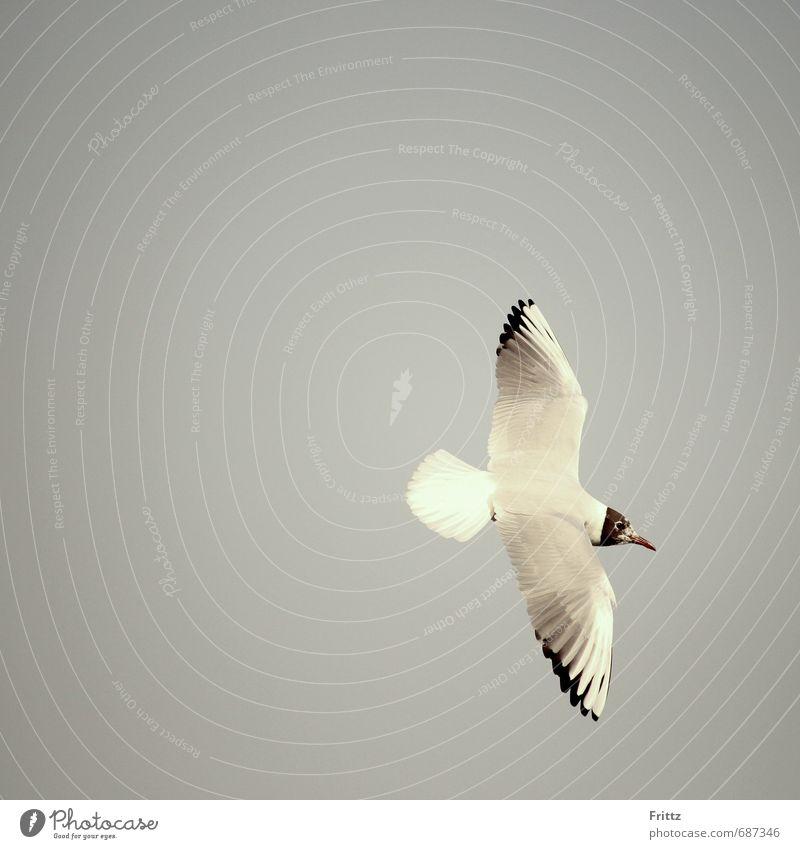 Schwarzkopfmöwe Natur Luft Tier Wildtier Vogel Flügel weißer Vogel mit schwarzem Kopf Möwe 1 fliegen frei Flug Farbfoto Außenaufnahme Textfreiraum links