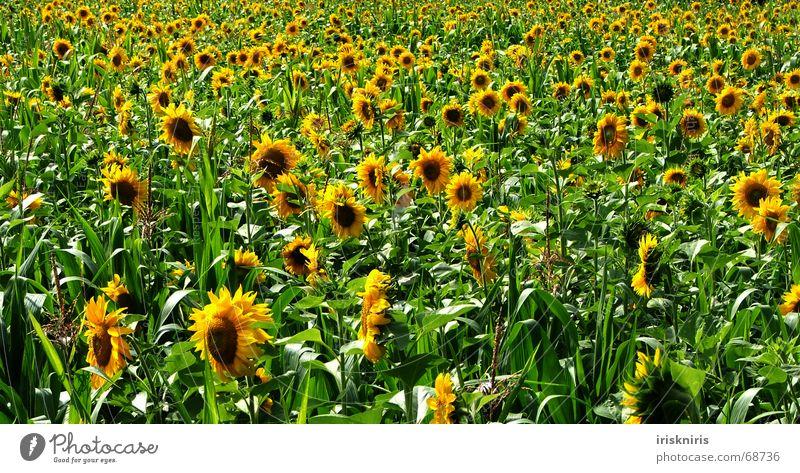 Endless Summer Natur grün Sommer gelb Wiese Blüte Feld Blumenwiese Unendlichkeit Biene Duft Sonnenblume Wohlgefühl Anhäufung Mais Sonnenblumenfeld