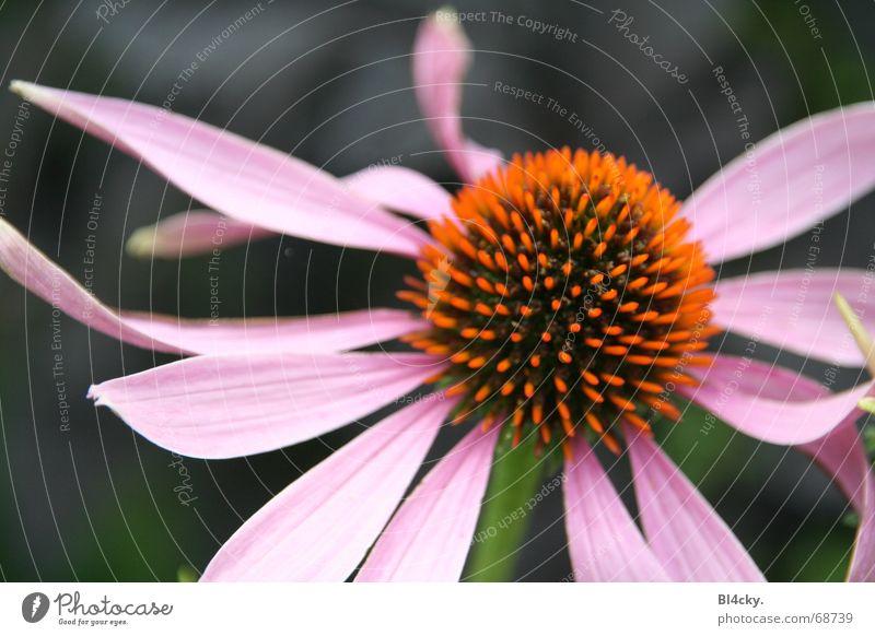 komische Blume grün schwarz Blüte orange rosa Stengel Pollen Blütenblatt Staubfäden Nektar