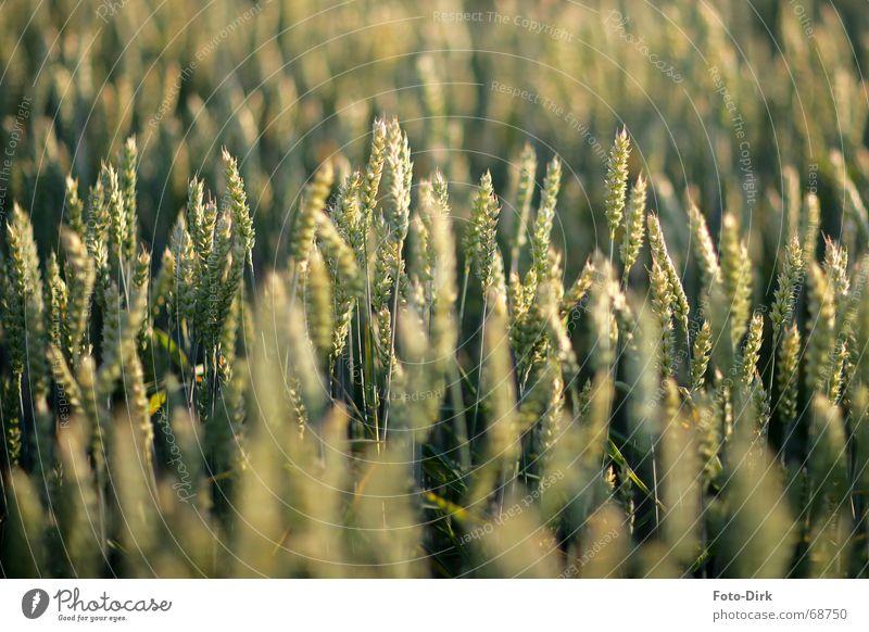 Getreidefeld Feld Weizen Ähren Landwirtschaft Kornfeld
