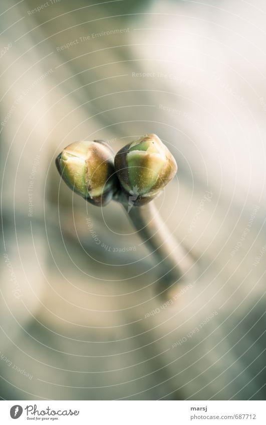Gemeinsam Natur Pflanze Sträucher Blatt Grünpflanze Fliederknospe Blattknospe Fliederbusch Wachstum Zusammensein einzigartig niedlich grün Tatkraft