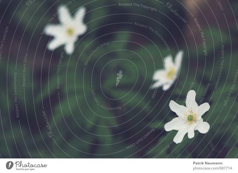 Buschwindröschen Umwelt Natur Pflanze Frühling Klimawandel Schönes Wetter Gras Moos Blüte Waldanemone Blühend Duft genießen leuchten Fröhlichkeit Lebensfreude