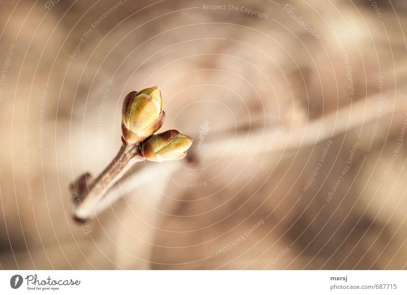Zu zweit ist es schöner Natur Frühling Pflanze Sträucher Grünpflanze Blütenknospen Blattknospe Fliederbusch Garten träumen Wachstum einfach Fröhlichkeit