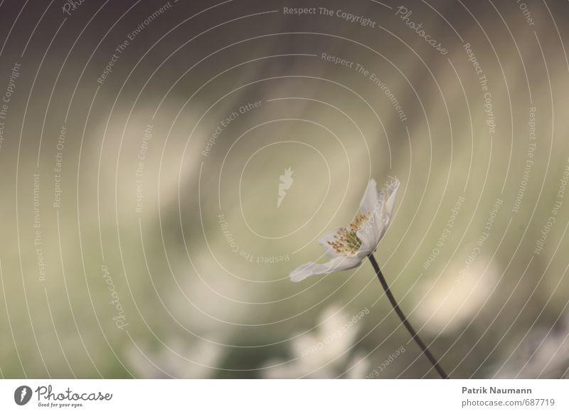 Buschwindröschen Umwelt Natur Pflanze Erde Sonnenlicht Frühling Klima Klimawandel Schönes Wetter Blume Blatt Blüte Wildpflanze Hahnenfußgewächse Wald Blühend