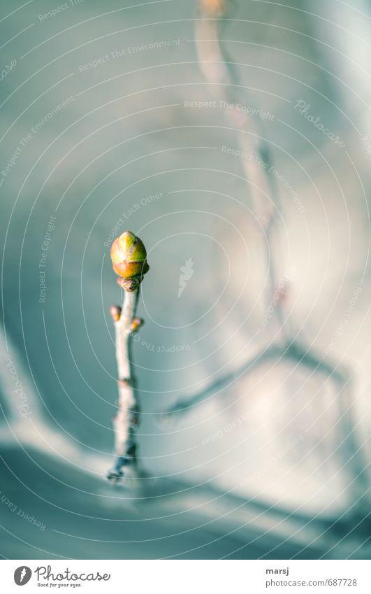 Knospe in Eis Natur Frühling Pflanze Sträucher Blatt Grünpflanze Nutzpflanze Fliederbusch Blattknospe Ast Jungpflanze Wachstum dünn einfach kalt saftig grau