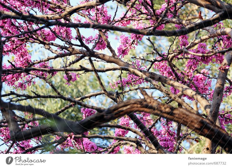 Blütentraum Natur Baum Romantik schön Liebe Sinnesorgane printemps Frühling Kirschblüten Kirschbaum rosa hellgrün hell-blau Pastellton Baumkrone träumen frisch