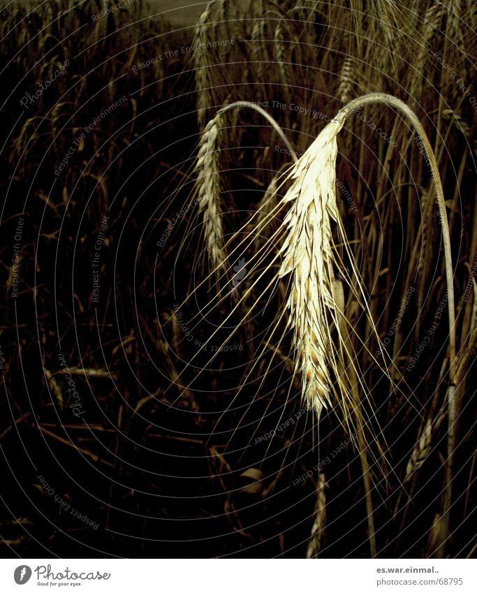 ich bin soweit. Natur Pflanze dunkel Traurigkeit hell Gesundheit Feld mehrere Ernährung viele Getreide Korn Ernte reif Bioprodukte hängen